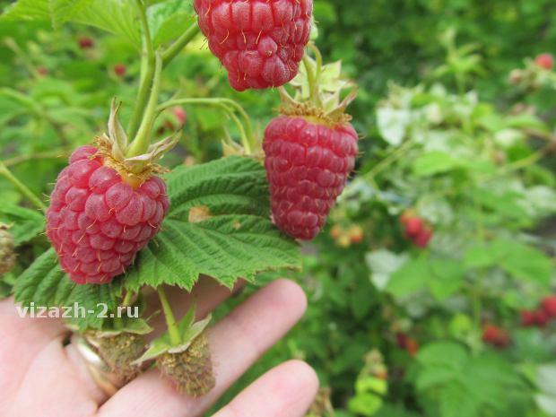 Малина бабье лето: описание сорта, выращивание, уход, обрезка