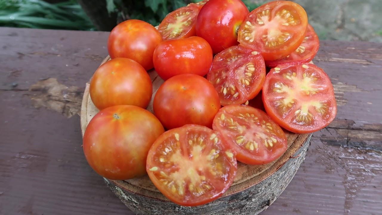 Экологически-чистый урожай на балконе с томатом аляска: описание сорта и советы по уходу