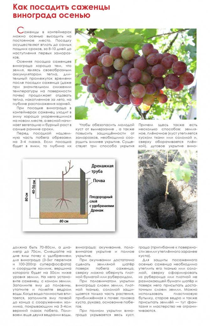 Как пересадить виноград на новое место, когда это лучше делать – весной или летом