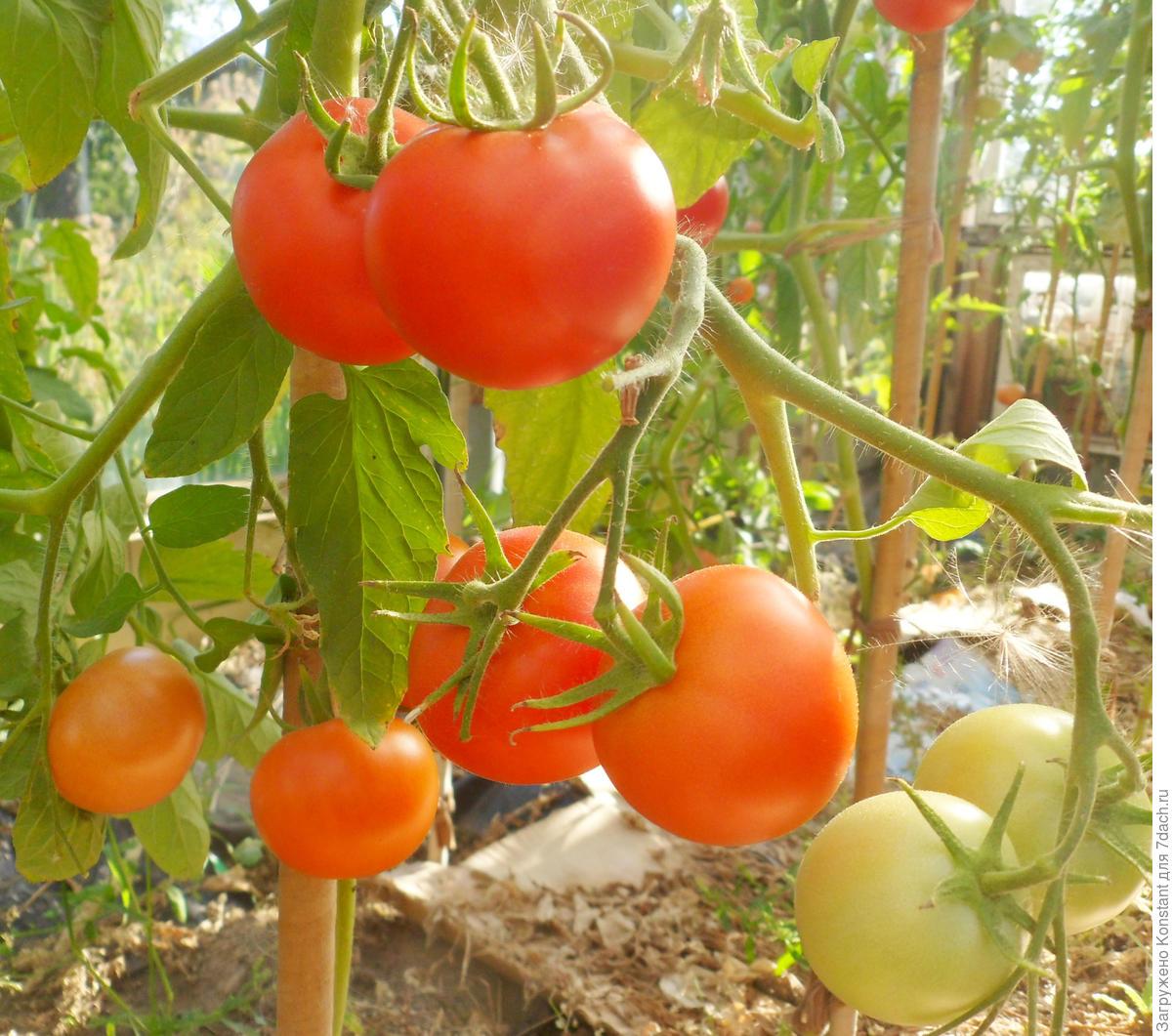 Томат хали-гали: характеристика и описание сорта, отзывы садоводов с фото