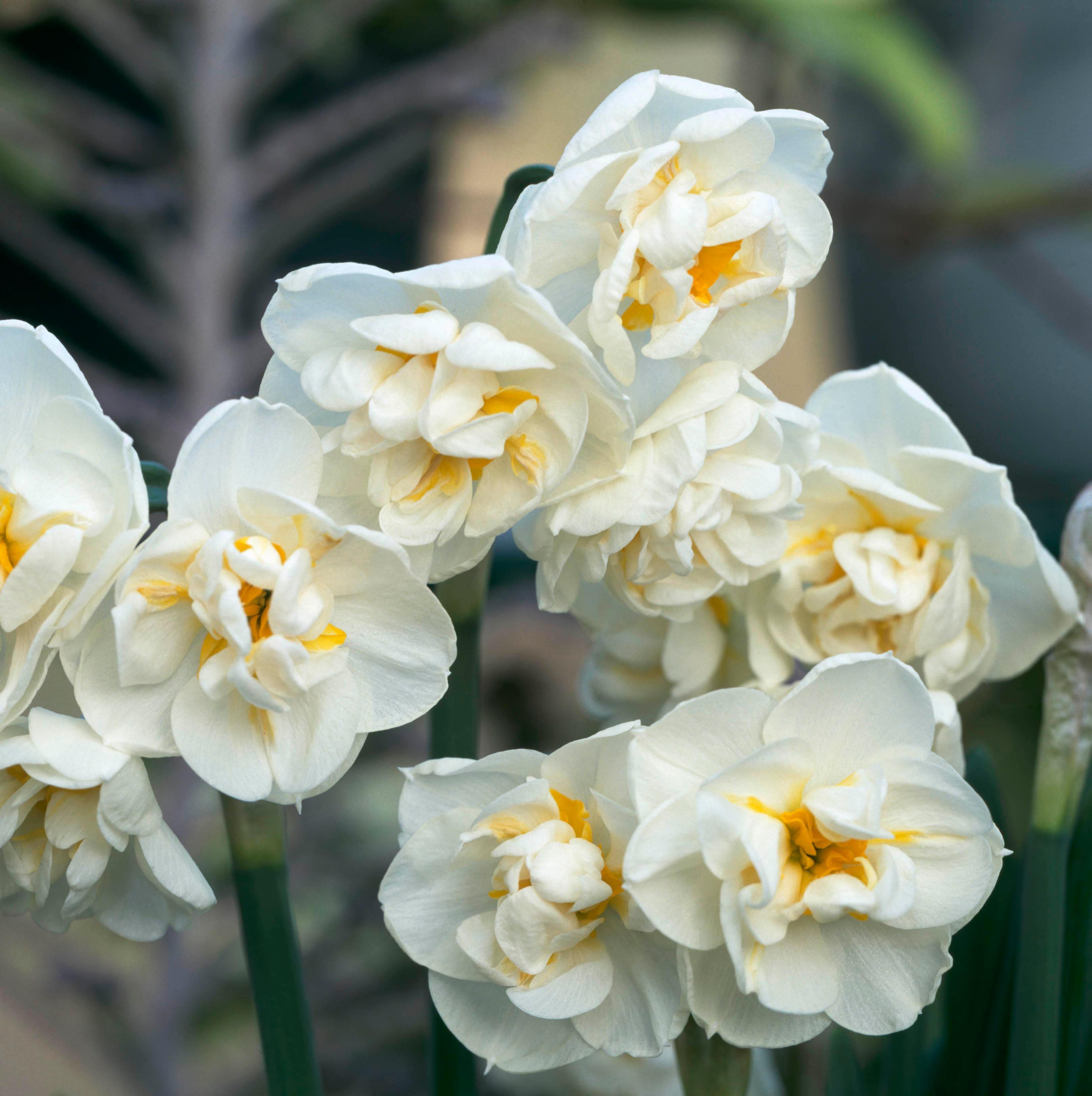 Садовые цветы нарциссы: картинки и фото, выращивание в открытом грунте, посадка луковиц осенью