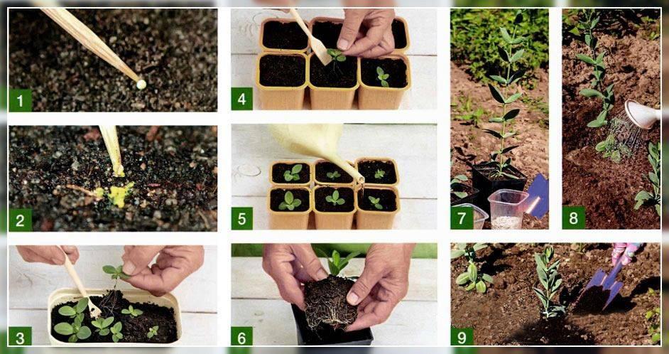 Комнатное растение каладиум: фото, виды и уход