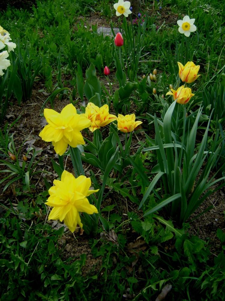 Нарциссы - посадка и уход в открытом грунте, виды и сорта