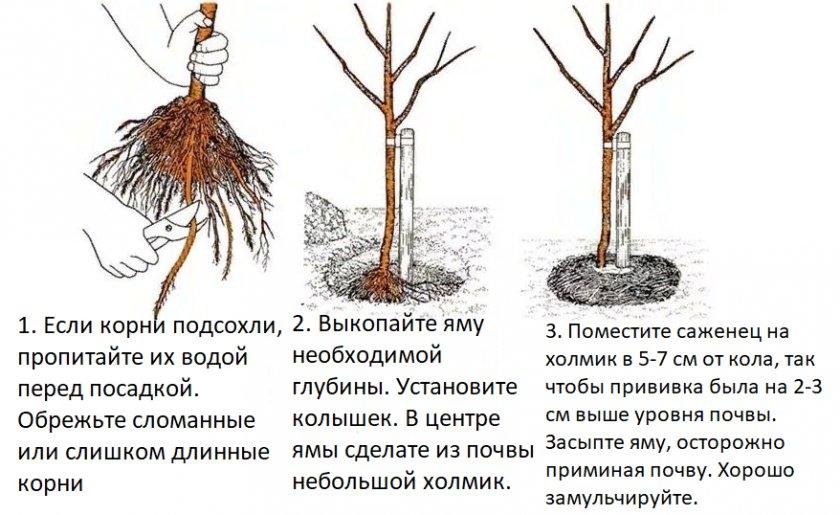 Какие сорта сливы выбрать для ленинградской области