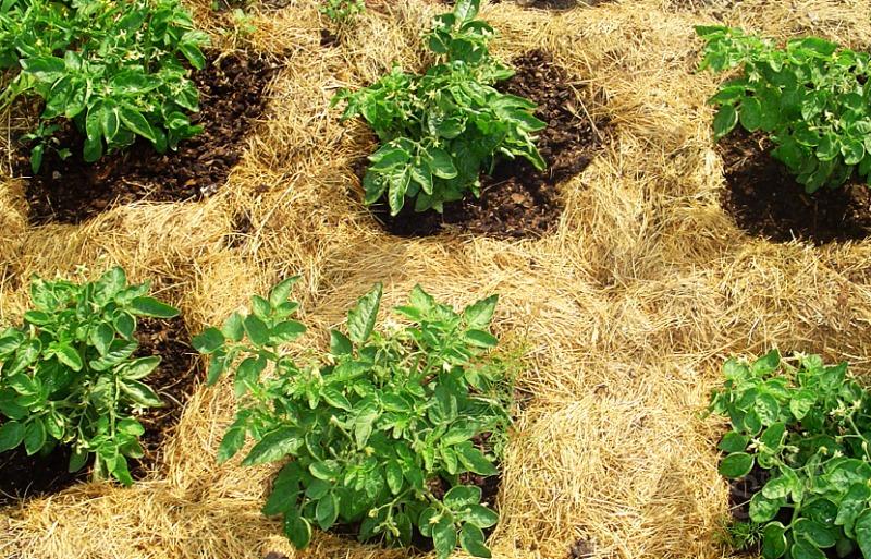 Мульча своими руками из коры веток травы опилок для помидор
