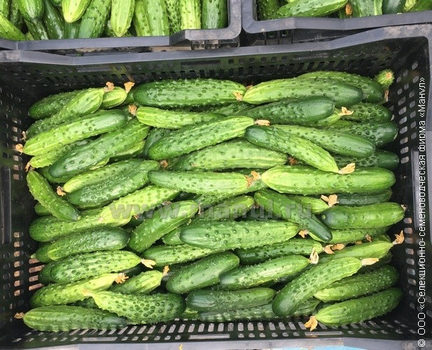 Все о сорте огурцов эстафета: агротехника выращивания в теплице и грунте