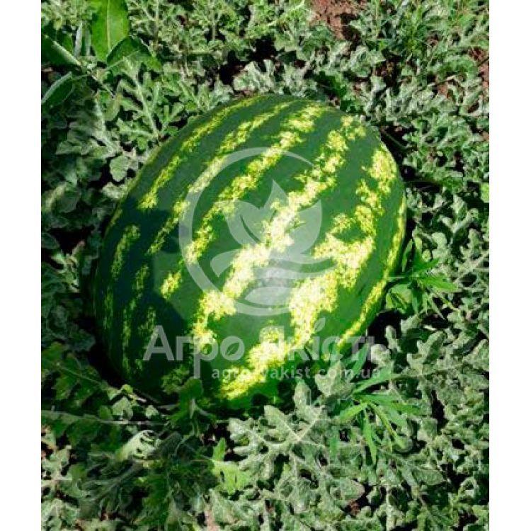 Холодок арбуз: описание и характеристики сорта, посадка и уход, выращивание, отзывы