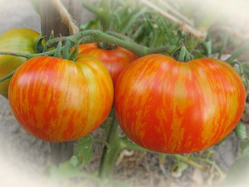 "ᐉ томат ""толстый боцман"": описание, характеристики сорта и фото - orensad198.ru"