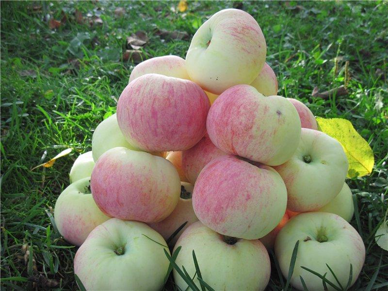 Описание сорта яблони осеннее полосатое: фото яблок, важные характеристики, урожайность с дерева