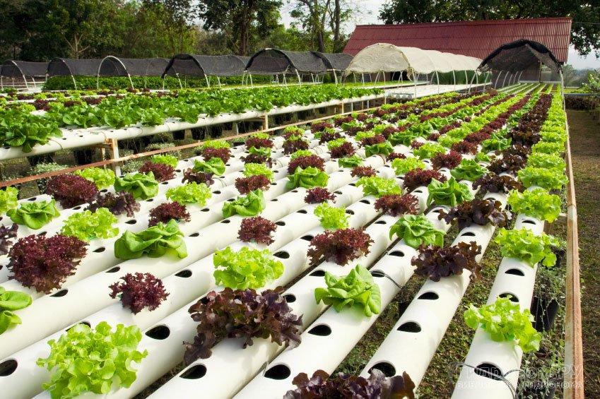 Салат листовой: выращивание в открытом грунте, в теплице, на подоконнике.