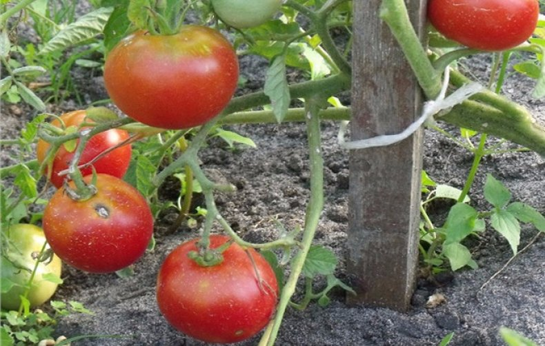Сорт томата ирина f1: описание, характеристика