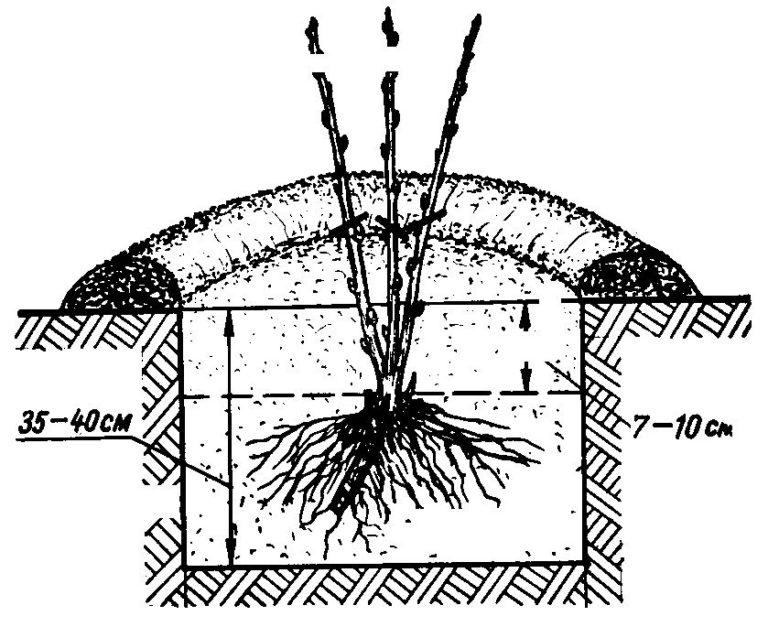 Посадка черной смородины весной, пошаговая инструкция, а также как пересадить куст на новое место