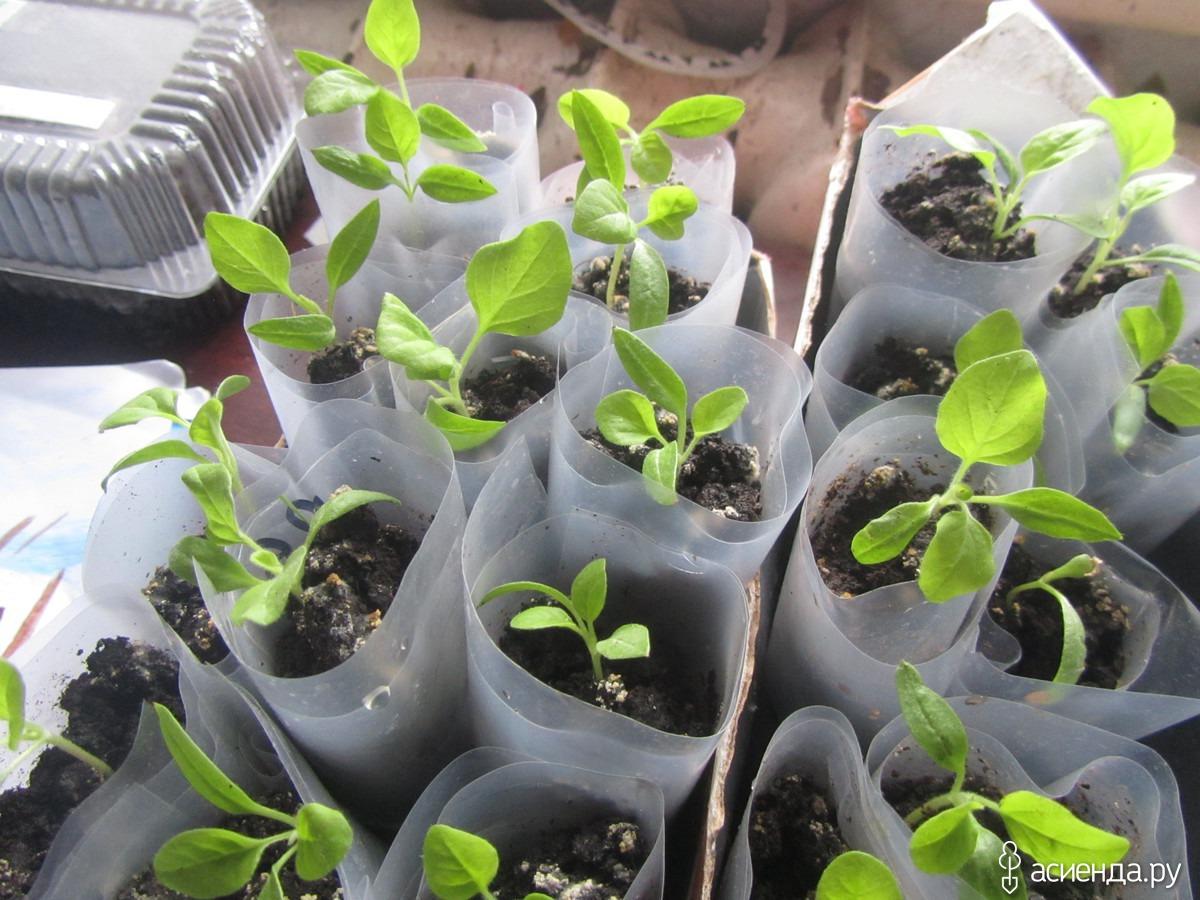 Рассада помидоров в улитках - проращивание семян, пикировка, уход