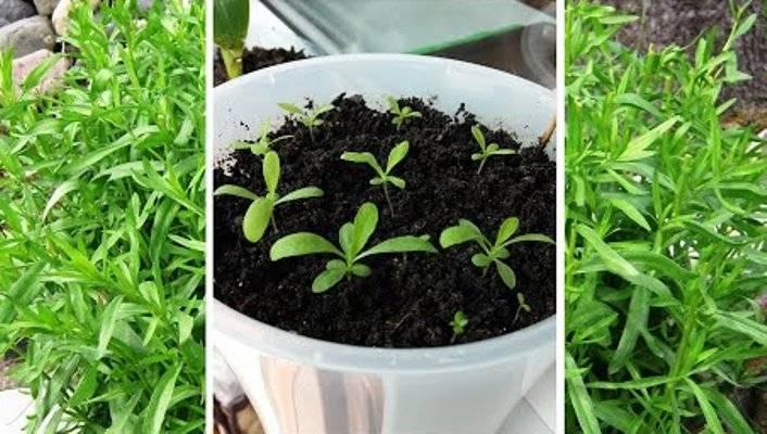 Размножение тархуна: черенками, отводками, делением куста и другими способами, а также как выбрать, подготовить и посадить эстрагон? русский фермер