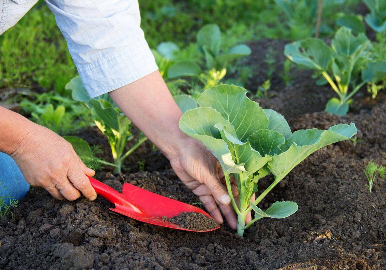 Особенности выращивания савойской капусты в открытом грунте — советы по уходу и фото культуры