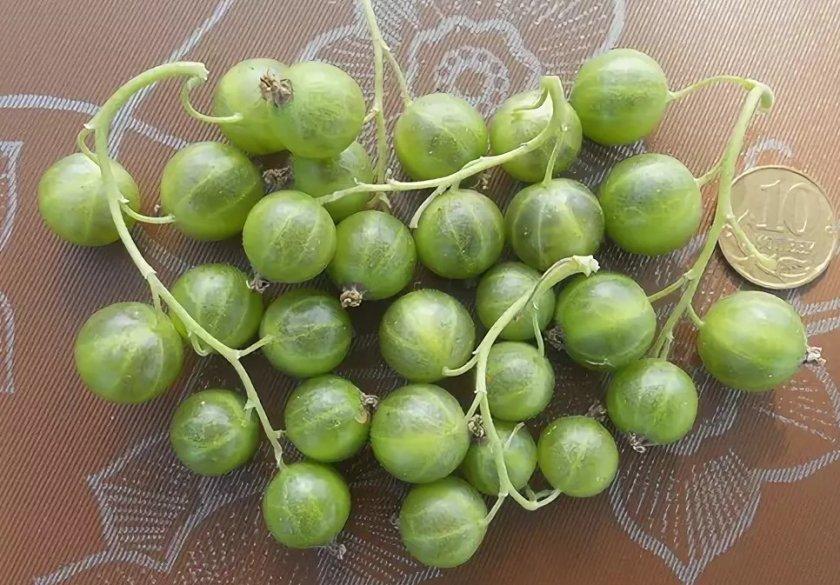 Смородина зеленоплодная изумрудное ожерелье с зелеными ягодами — описание
