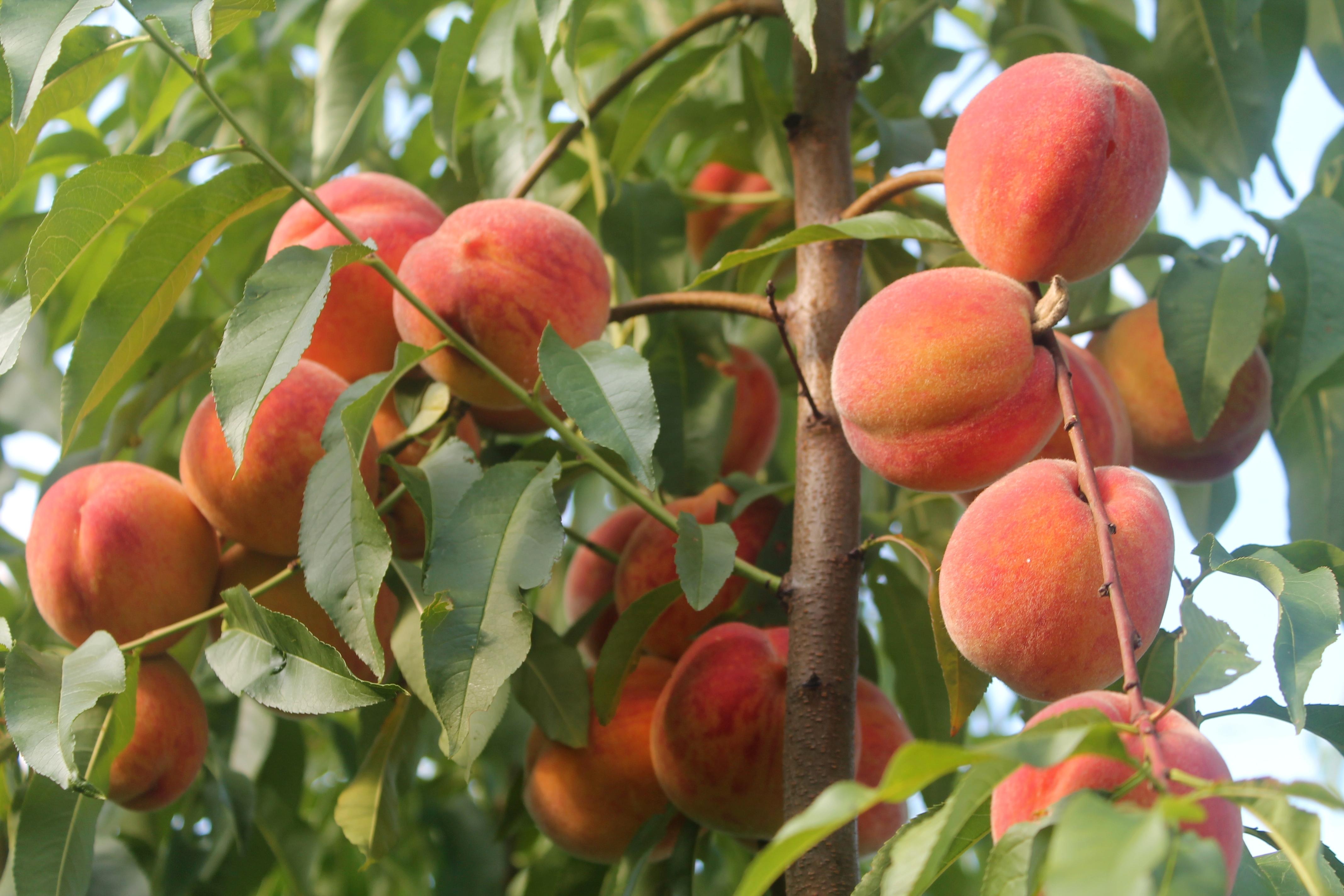 Персик редхейвен отзывы морозостойкость
