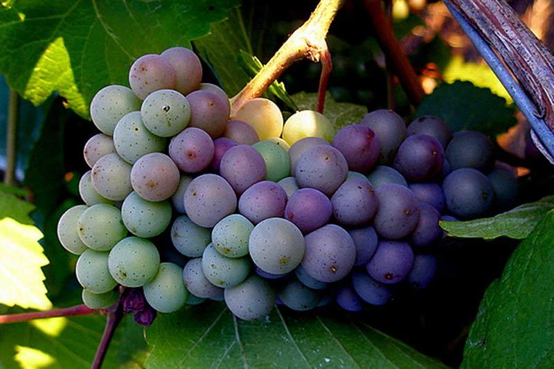 Виноград пино нуар: описание и особенности сорта, история и агротехника
