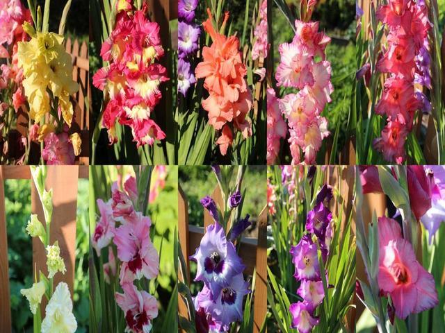 Японский гладиолус: лучшие сорта и секреты выращивания