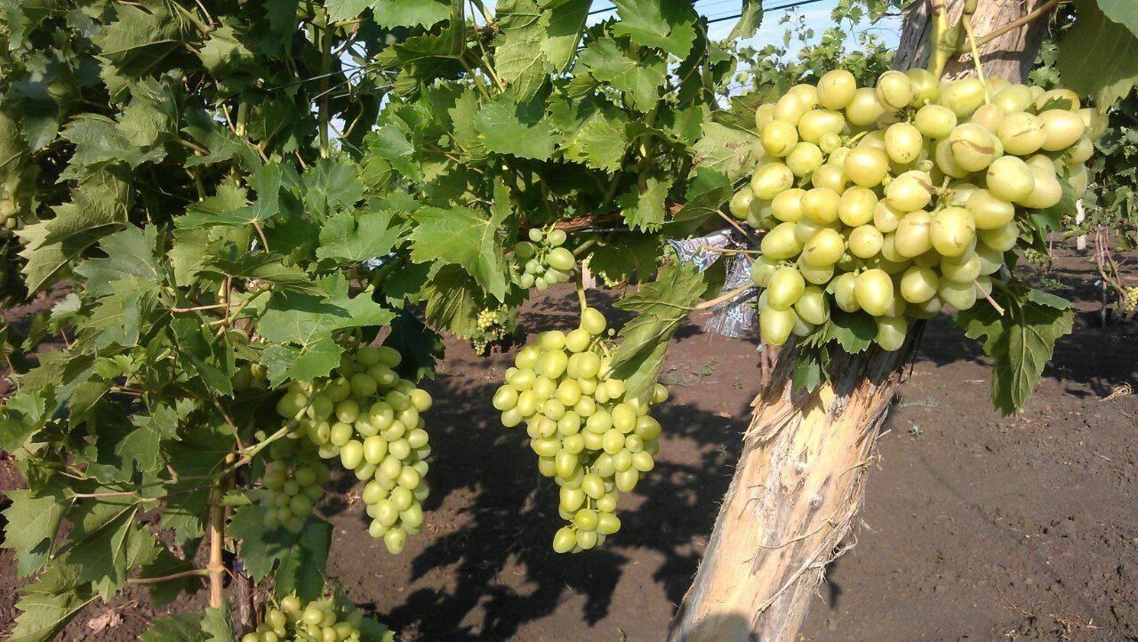 Виноград забава: описание сорта, фото, отзывы