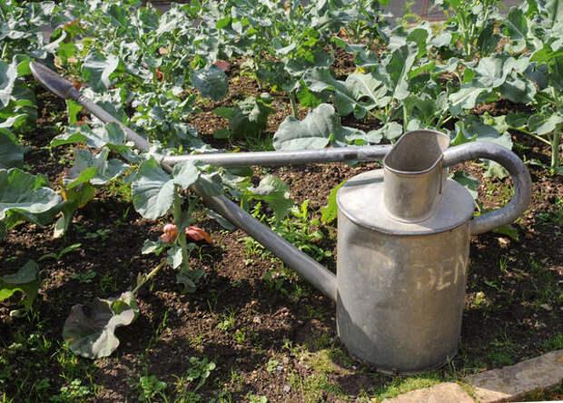 Когда и как правильно поливать капусту в открытом грунте