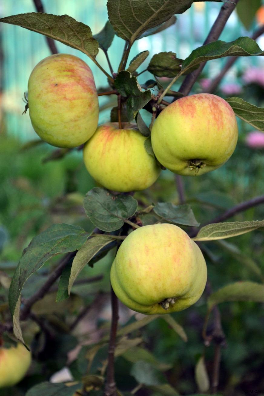 Яблоня коричное полосатое - описание, сорт +фото