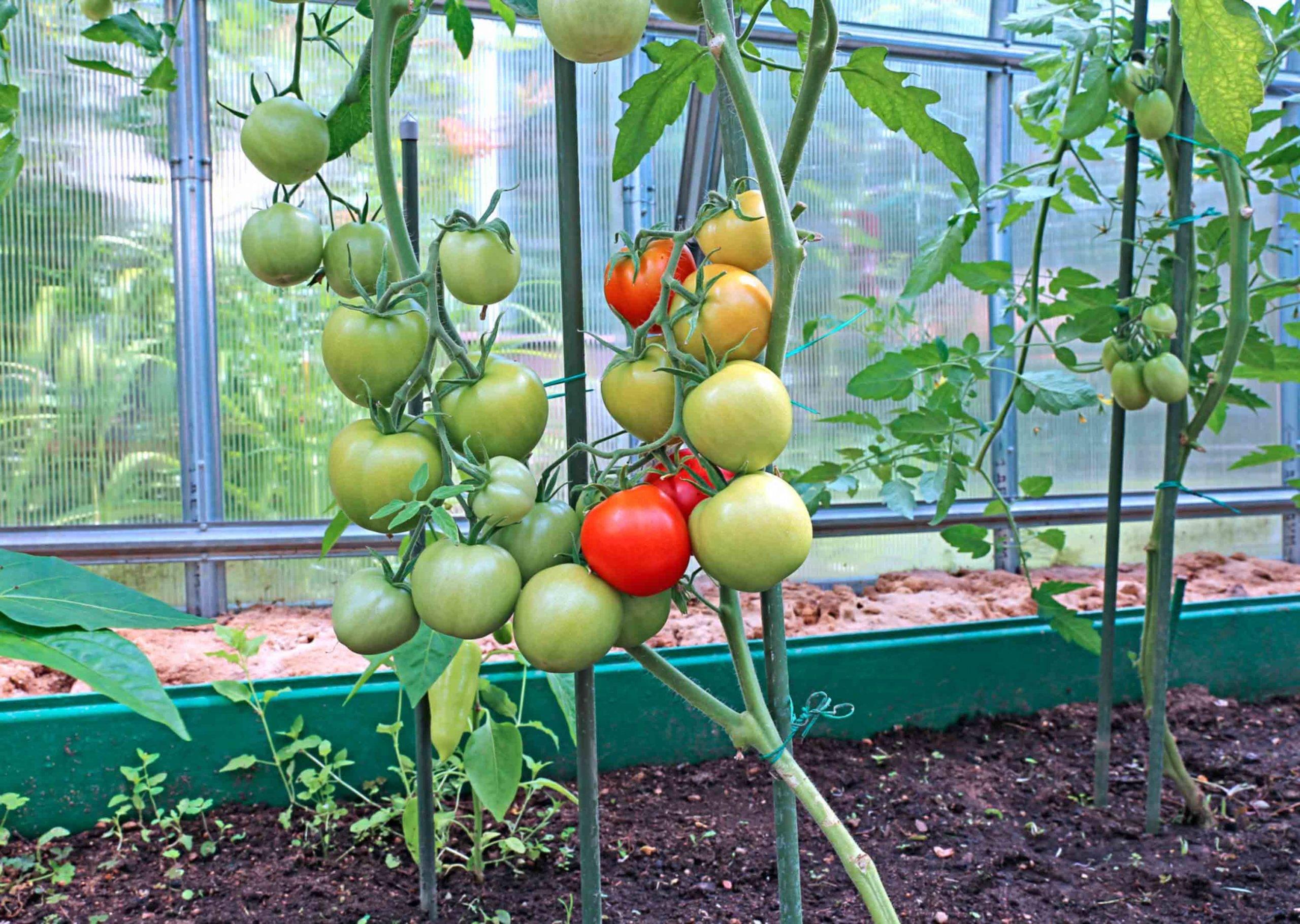 Посадка и выращивание томатов: агротехника выращивания рассады томатов в теплице и открытом грунте