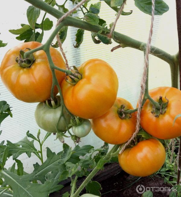 Томат хурма: описание, урожайность, особенности выращивания