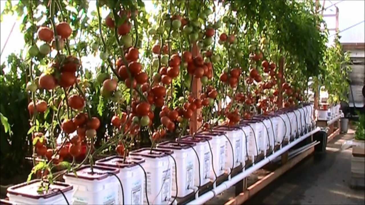 Голландские сорта томатов - особенности, преимущества и правила выращивания, уход и сбор урожая