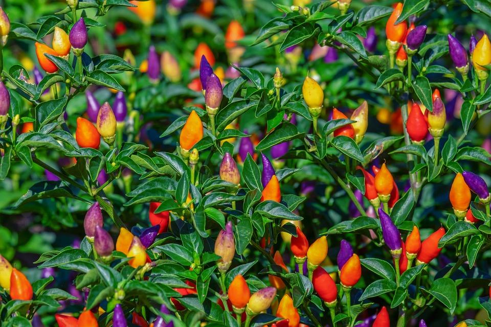 Перец декоративный маленькое чудо: выращивание и уход в теплице + фото