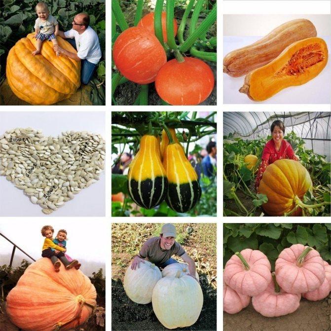 Тыква кустовая: сорта, топ секреты выращивания с фото и описанием