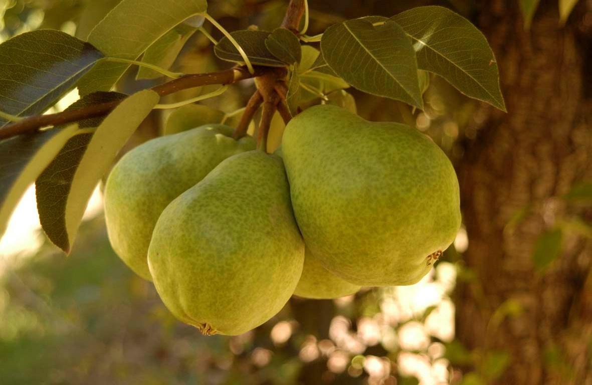 Описание груши сорта Пакхам и тонкости выращивания