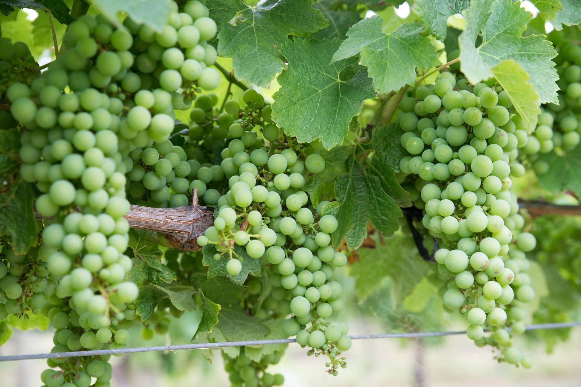 Виноград сорта аркадия: характеристики растения и советы по уходу за ним