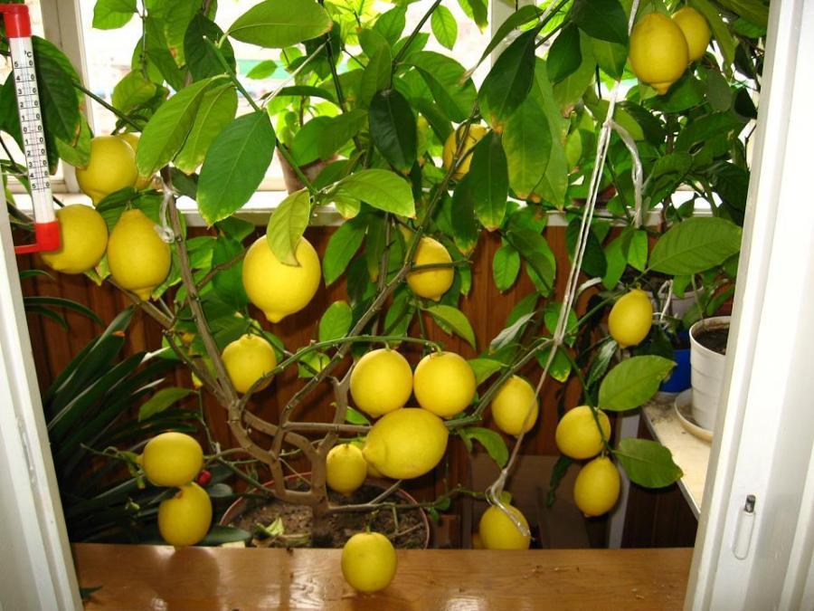Размножение лимона черенками в домашних условиях