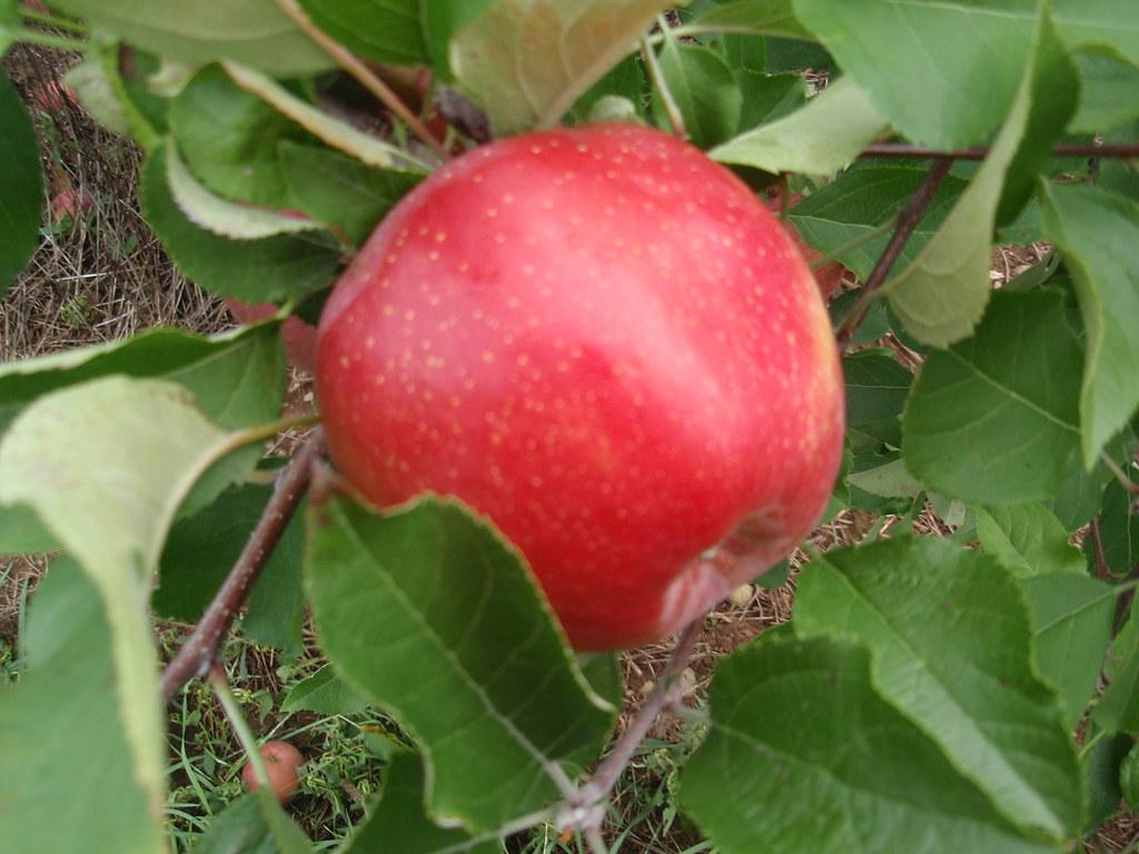Яблоня иммунная к парше благая весть: описание сорта - про сорта