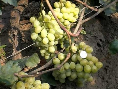 Виноград пино нуар: описание сорта, отзывы, фото