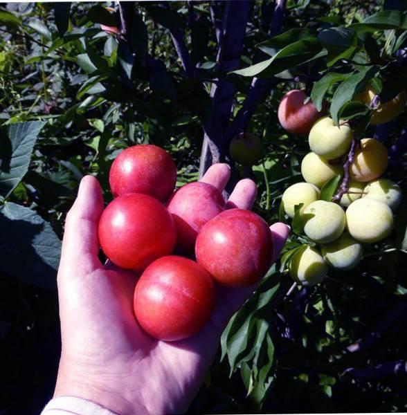 """Слива """"красный шар"""": описание сорта, подробные характеристики и фото selo.guru — интернет портал о сельском хозяйстве"""