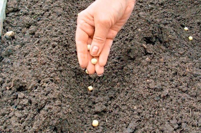 Шпинат: как вырастить эту вкусную и полезную зелень в домашних условиях и в открытом грунте