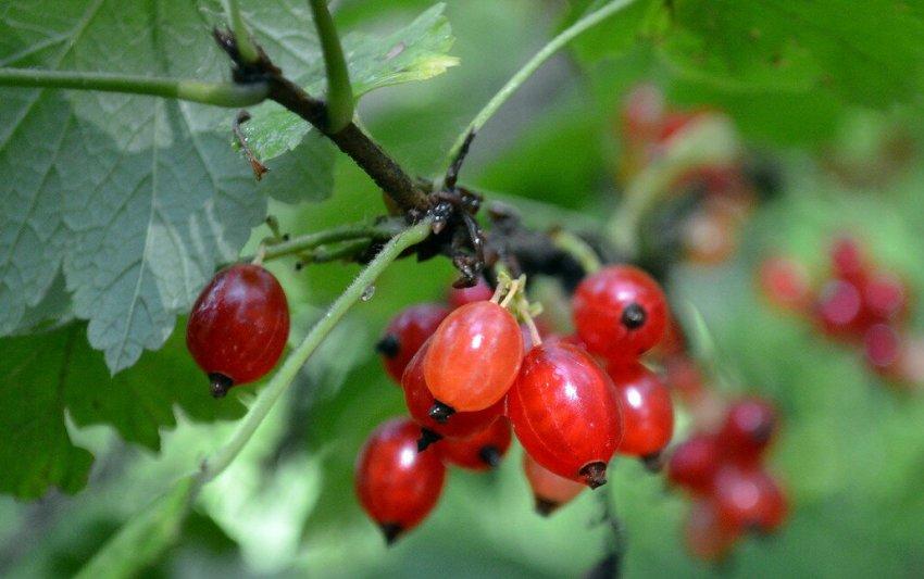 Описание и характеристики дикой смородины, выращивание и уход