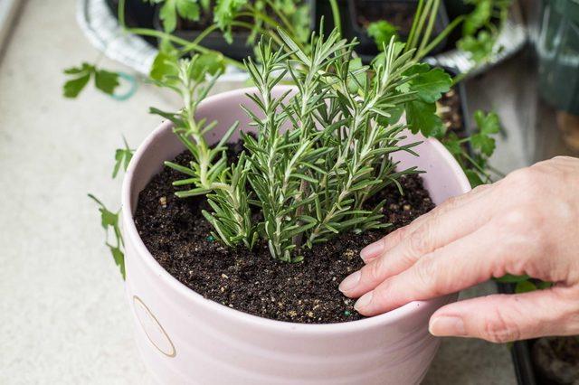 Розмарин- уход и выращивание в открытом грунте и в горшке