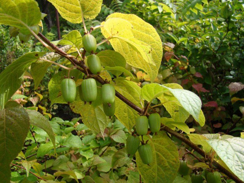 Как посадить актинидию весной и осенью: сроки и правила посадки саженца в открытый грунт