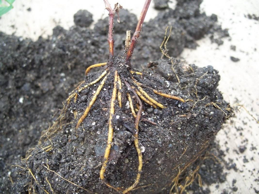 Клематис в горшке: выращивание клематисов в контейнерах на улице и дома. будут ли они расти в кашпо? правила посадки и ухода