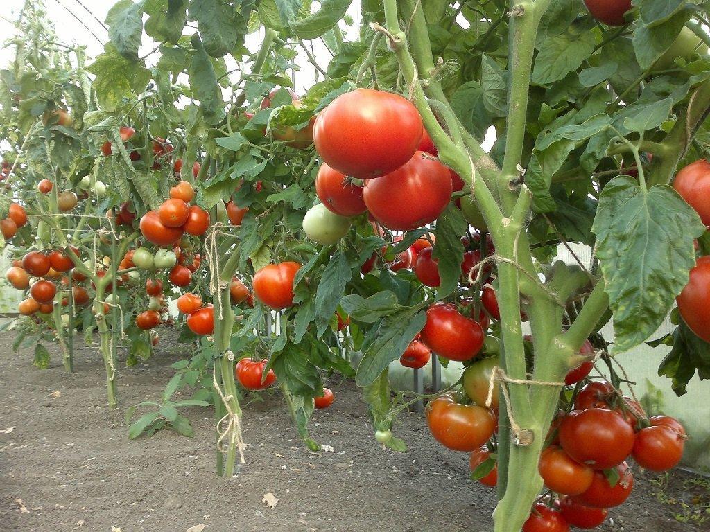 Преимущества и особенности сорта томата пинк парадайз