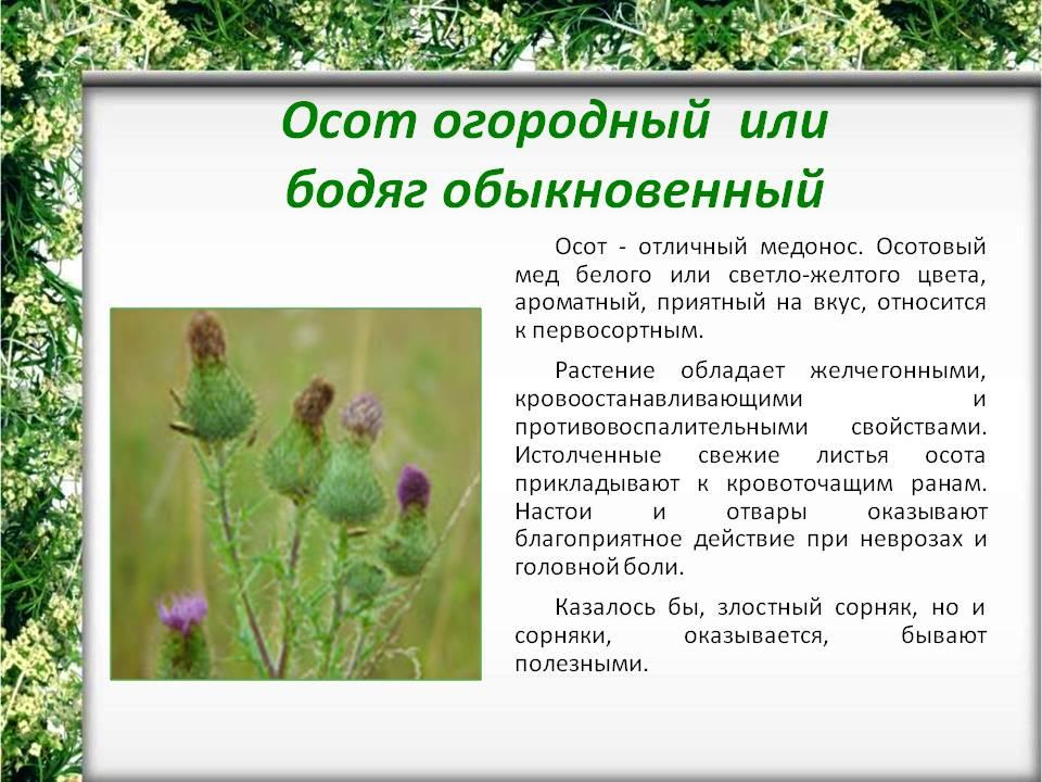 Осот огородный: полезные свойства и противопоказания, правила использования