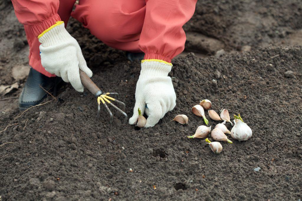 Когда и как пересаживать тюльпаны