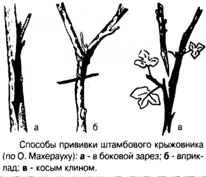 Посадка крыжовника весной: когда и как - инструкция для начинающих