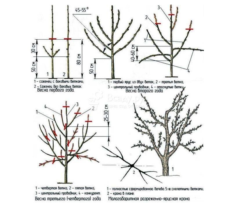 Обрезка яблонь: схемы и правила формирование дерева весной и осенью