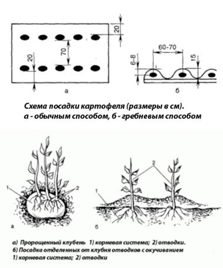 Как определить расстояние между рядами картофеля - мыдачники