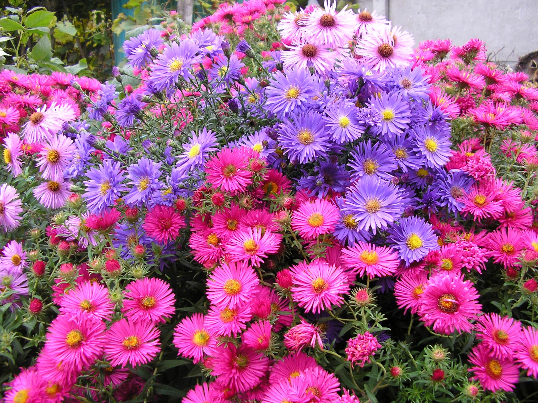 Многолетние цветы для дачи на урале и в сибири: названия и фото