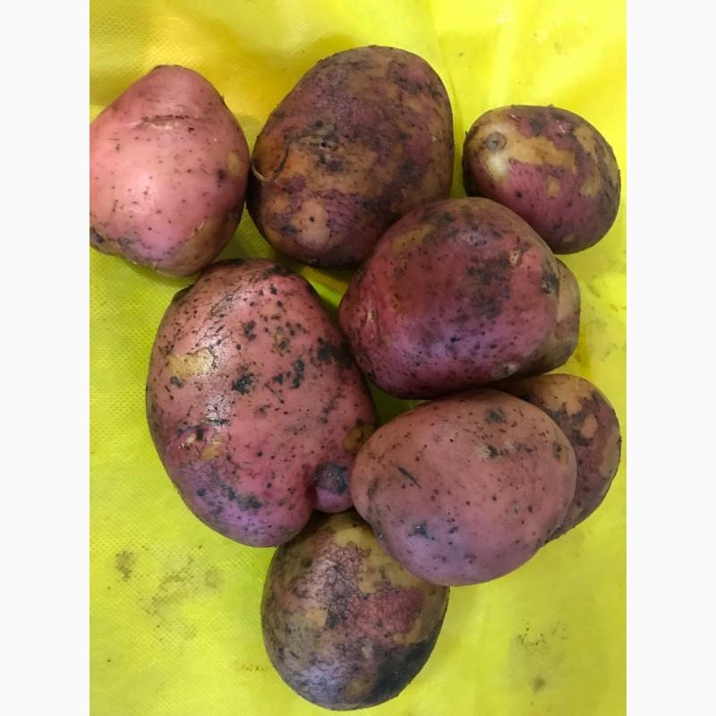 Картофель ирбитский: описание сорта с фото, подробная характеристика и отличительные особенности, преимущества и недостатки и правила выращивания культуры